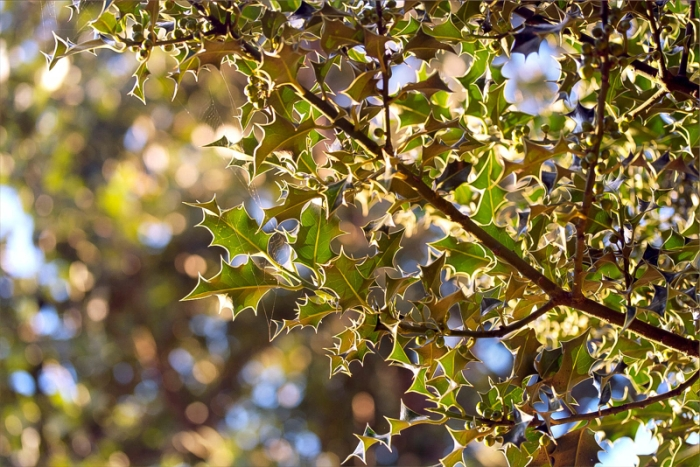 green holly leaves in the summer evening light