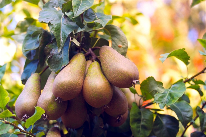 pears ripe for the picking in the summer evening light