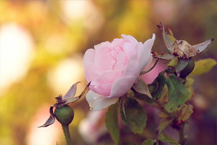 a single pink rose blossom in the summer evening light