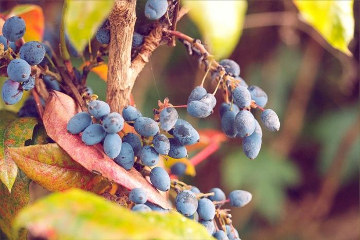 blue berries in the summer evening light
