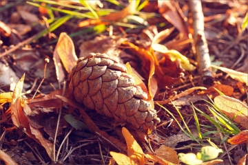 pinecone resting on the ground in the summer evening light