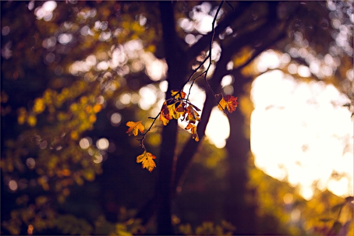 leaves glowing in the summer evening light