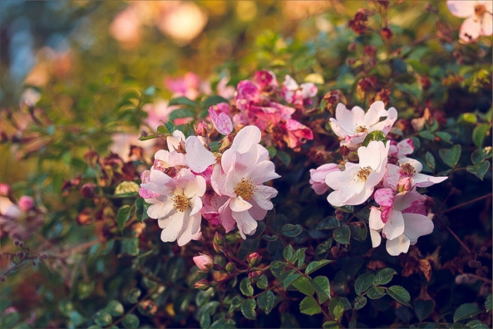 pink blossoms in the summer evening light